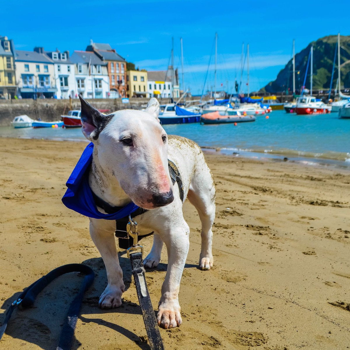 Happiest when by the sea and when rolling around on the sand Do you love the sea too? . . #bullterrier #englishbullterrier #bullies #dogfriendly #dogsarefamily #adventuredog #dogswelcome #mansbestfriend #ilovemydog #traveldog #dogtraveler #bullterrierlovers #dogpassport #devon<br>http://pic.twitter.com/b9h2ZZLkJq