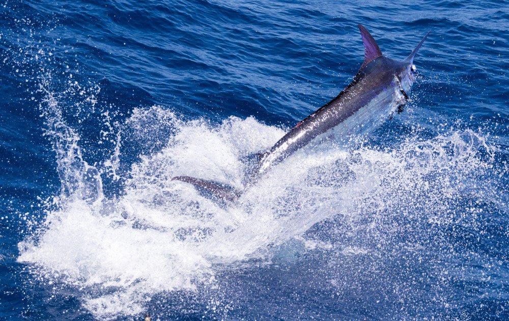 Cape Verdes - Andromeda released 2 Blue Marlin (500).