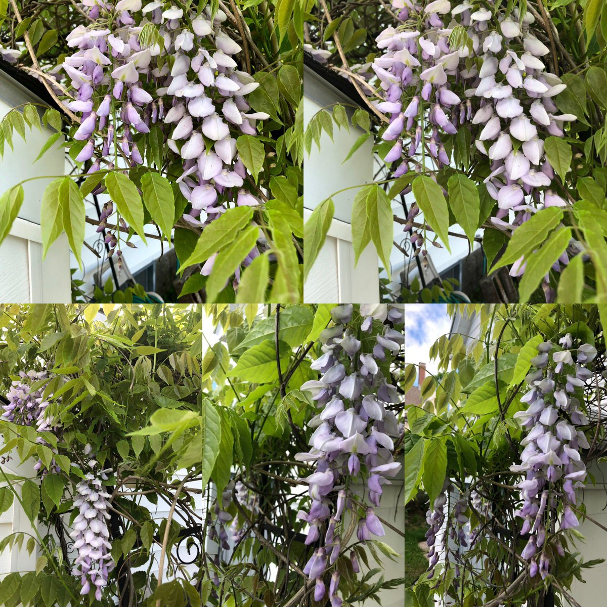One of my all time favorite flowers #wisteria <br>http://pic.twitter.com/anrUVmi5HC