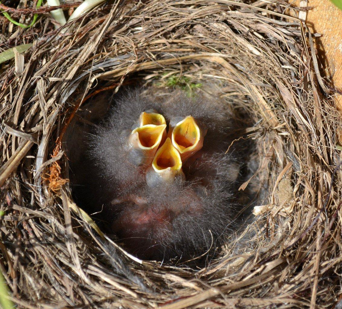 себя птицы их птенцы и гнезда картинки погибал, если приносил