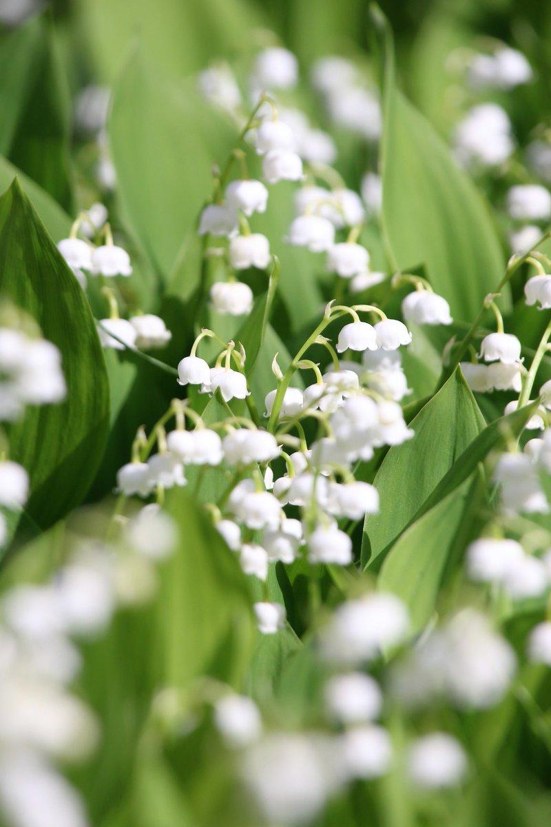 【とーちゃんのこの一枚】ラッキーライラックを見つけた創成川公園には、スズランも花開いています。ドイツスズランでしょうか。清楚な感じですね #ラッキーライラック #創成川公園 #スズラン #ドイツスズラン