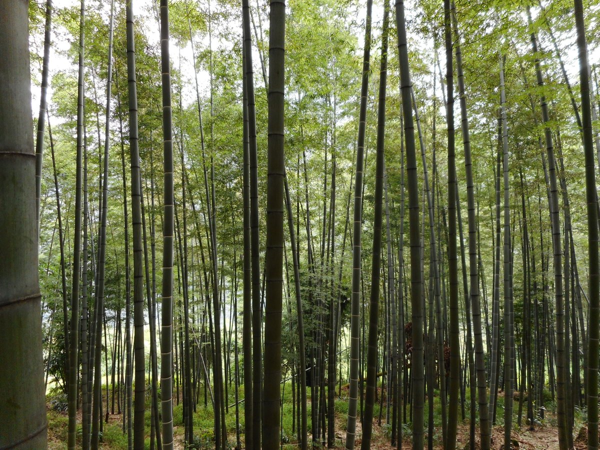 Could this explain the widely touted relaxing effects of a stroll in the #bamboo forest? Levels of #Phytoncides, volatile chemicals with a range of purported health benefits, are seven times higher in a bamboo forest than in urban areas:  https:// bit.ly/2LZdZYb  &nbsp;   Via @KoreaSavvy<br>http://pic.twitter.com/JlIdfY7nfW