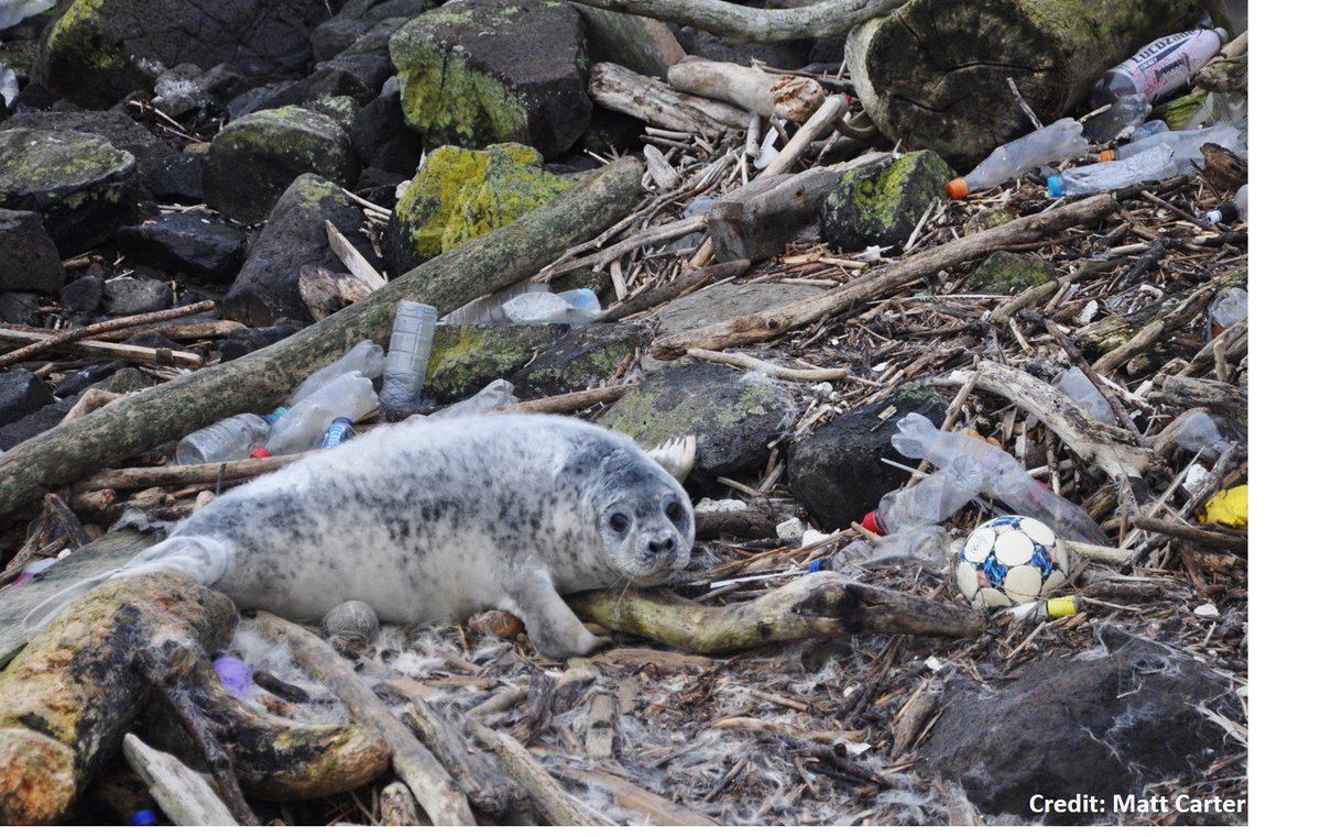 #Plasticpollution is a rapidly growing issue 🗑️ But the extent of #microplastic (plastic<5mm) consumption in #marinemammals 🐬🐋 is not well understood 🤔 I examined the guts of 50 animals 🤢 & found MPs in 100% Diet (🐠🐟) likely affects exposure of 🐬🐋to MPs  #tweetyourthesis