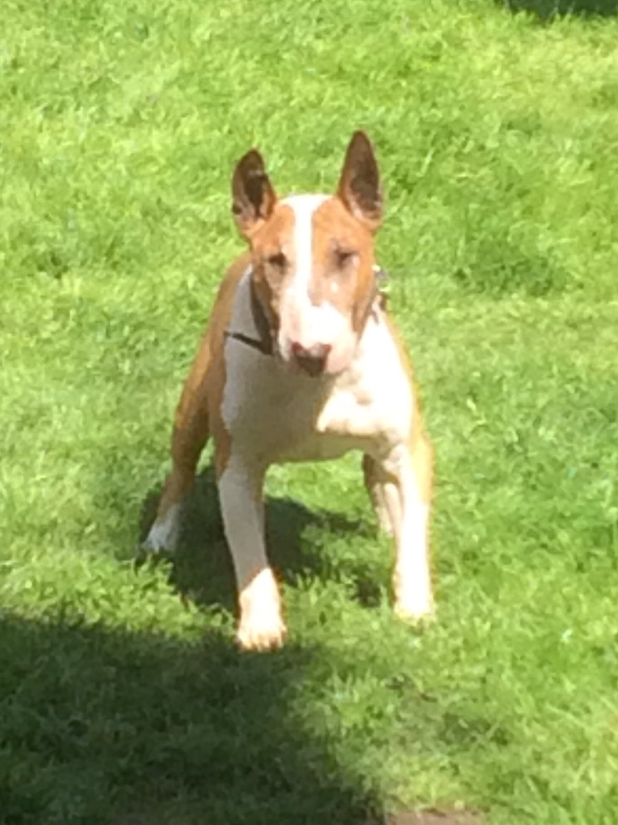 What a week for Barney 14 last Thursday, 2 1st prizes at dog show Sunday and his gotcha day today king Barney the #bullterrier #EBT<br>http://pic.twitter.com/oh9FZopeMr