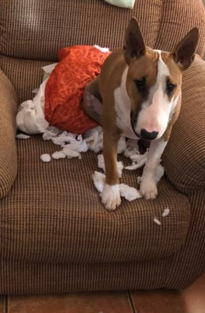 I came into the room &amp; there was a huge explosion. I stepped in to safe the family. Mom&#39;s not convinced. I think I&#39;m on outside duty for the rest of the day.. #bullies #bullterrier #dogs #dogsoftwitter #playful #protection #mayhem<br>http://pic.twitter.com/Dw1EbxffPE