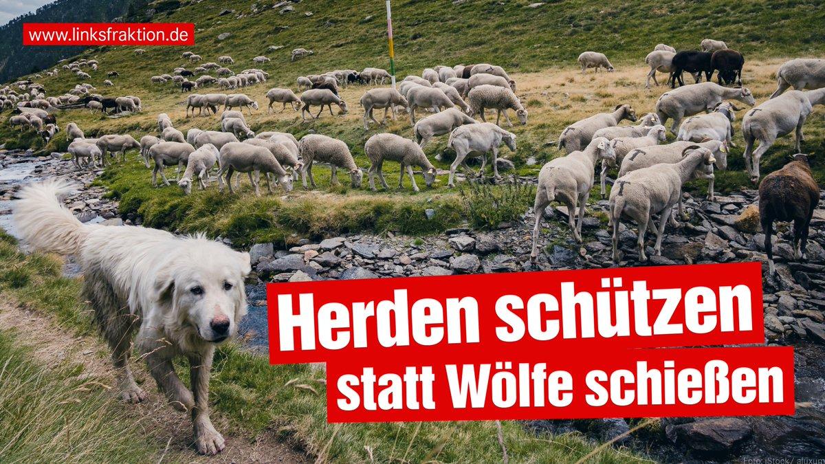 """Die #Jagd auf #Wölfe soll erleichtert werden. @KirstenTackmann sieht darin ein Ablenkungsmanöver von versäumten Maßnahmen zum #Herdenschutz. Statt diesen zu verbessern, werde nun """"die Tür für ein großes Halali auf den #Wolf geöffnet"""". Weiterlesen: http://www.linksfraktion.de/presse/pressemitteilungen/detail/praeventiver-herdenschutz-gehoert-ins-zentrum-der-politik/…"""