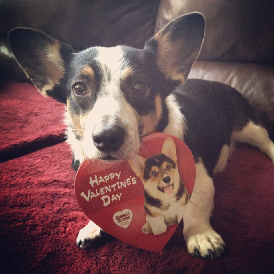 &quot;#Happy #Valentines day from Arya&quot; #corgi #dog #dogs #pics<br>http://pic.twitter.com/qwEEYDSmUh