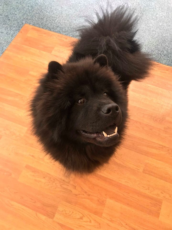 This gorgeous boy is Bear the Chow Chow!  #SmileMore #dogsarejoy #dogsoftwitter<br>http://pic.twitter.com/SxdRkt8xUo