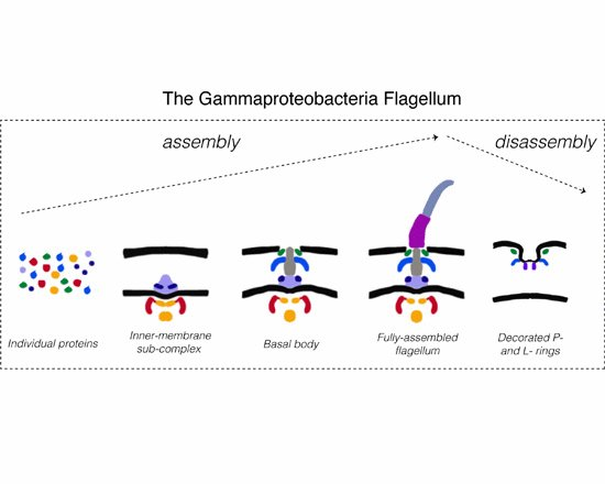 Our paper about the assembly and disassembly of the Gammaproteobacterial flagellar motor is out now in @embojournal https://t.co/QiLnDSHP91