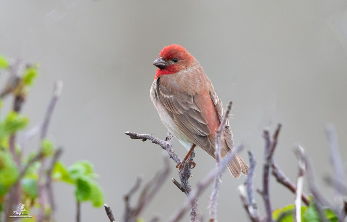 A lovely red male Common Rosefinch at Sumburgh, #Shetland this afternoon.