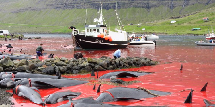 If you go to the @gfestival in the #FaroeIslands in July, as an added bonus you might be able to watch local residents kill and butcher #whales and #Dolphins. Who knows maybe @FatboySlim will help out as part of his performance. RT. Boycott #FaroeIslands. Boycott G! Festival