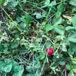 Image for the Tweet beginning: The wild strawberries are ripe.