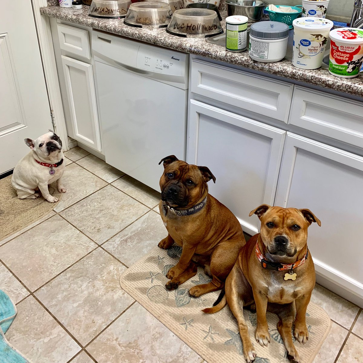 Dinner time includes an audience while I prepare. #staffordshirebullterrier #FrenchBulldog #StarvinMarvins<br>http://pic.twitter.com/Gu4SeWkvZl
