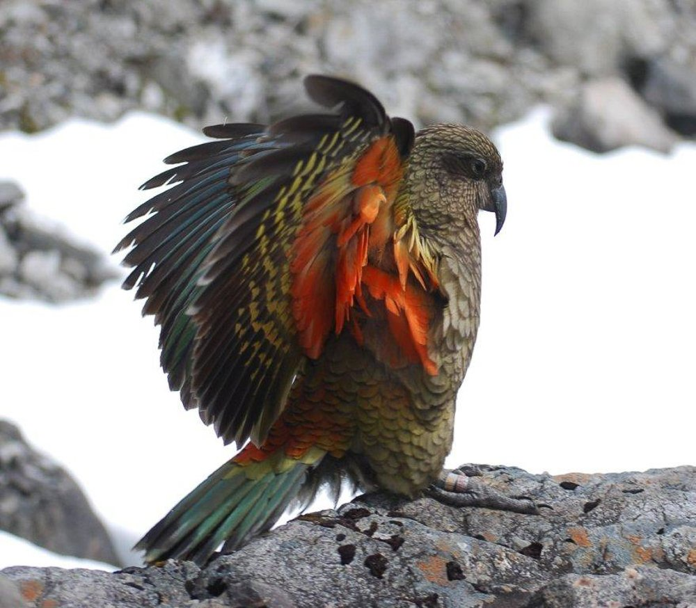 Happy #WorldEnvironmentDay! 🌍🌎🌏  Here's a Kea... they're only found in New Zealand and they're the world's only alpine parrot.   We think protecting their habitat is super important! We have lots of endemic birds here in #NewZealand that we treasure. ❤️