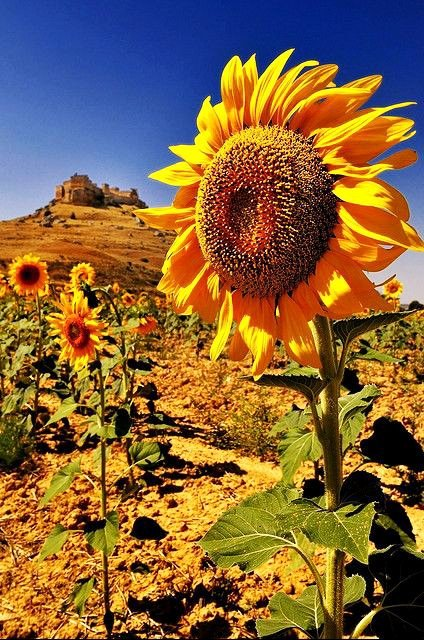 I love sunflowers.  They always know which way to turn ...<br>http://pic.twitter.com/NAJlTAkGhX