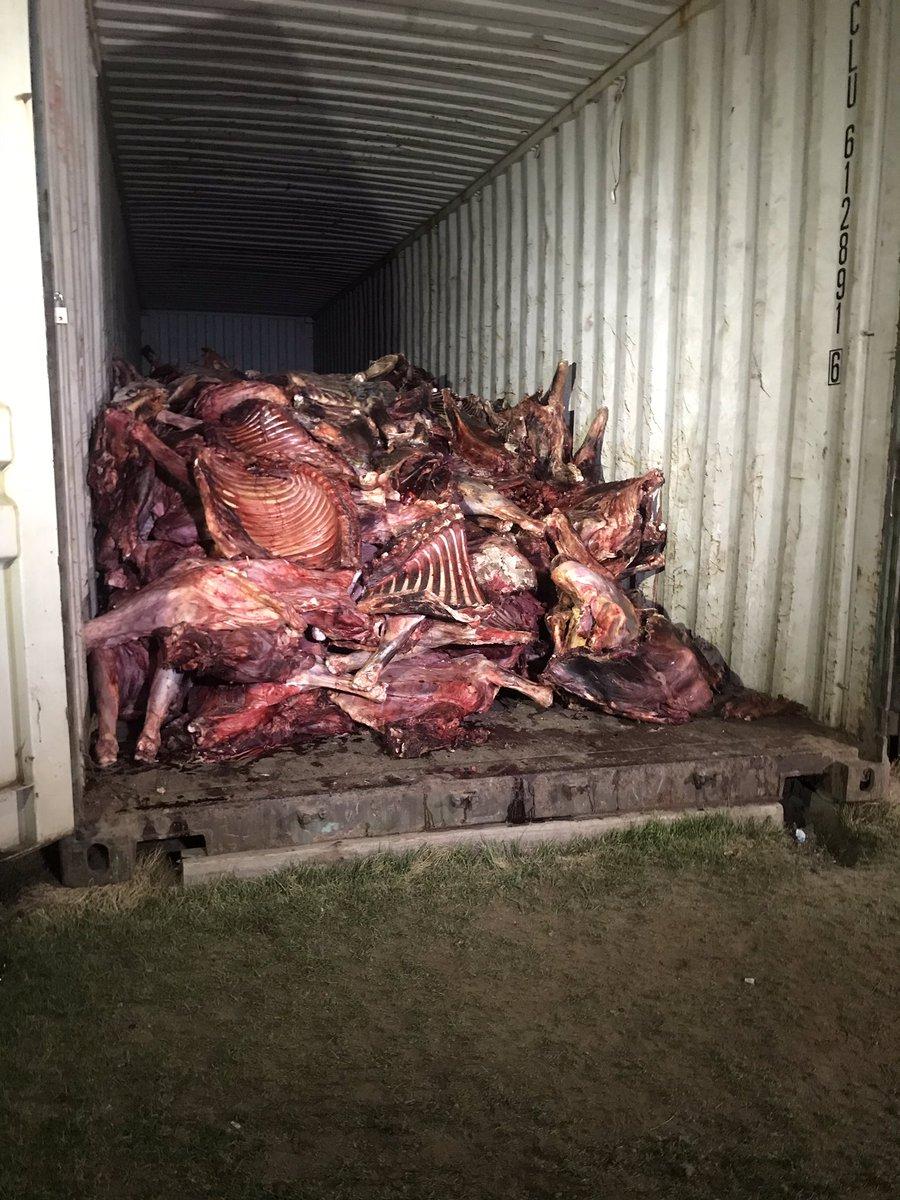 Яг одоо Эмээлтэд. Хятадын 2 иргэн үхсэн болон муудсан  малын махыг борлуулах гэж бсныг ЭЦА, НМХГ-ын алба хаагчид илрүүллээ. Урьдчилсан үзлэгээр 20 гаруй тонн мах бна. #ntv_мэдээ