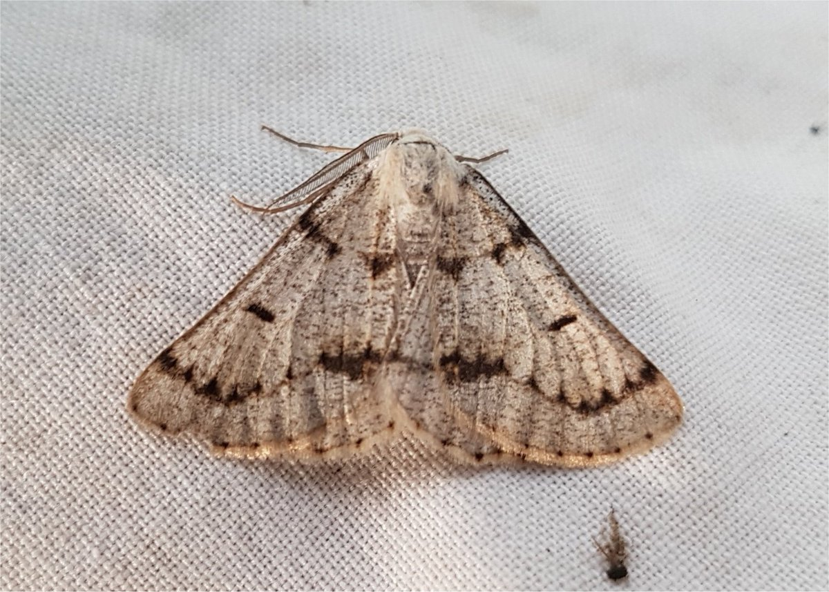 Three Grey Scalloped Bars at Ellington Banks near Ripon. A new species for this well-trapped lowland site on magnesian limestone and not one I would expect here . @BC_Yorkshire<br>http://pic.twitter.com/2121RfQJTL