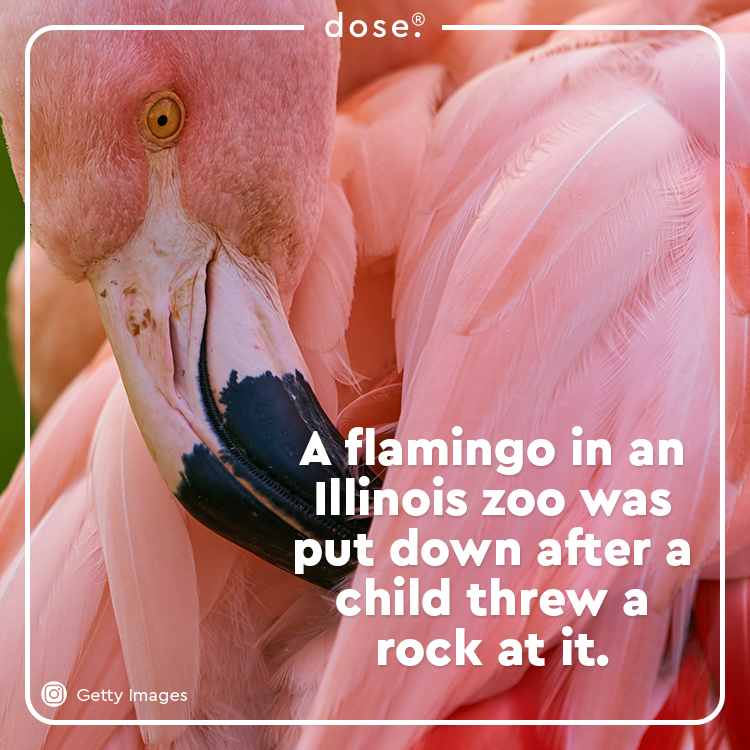 An elementary school student threw a rock inside the Miller Park Zoo exhibit and broke the flamingo's leg. The zoo is working with the student's family to make this a learning experience.
