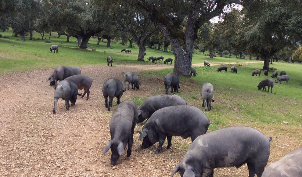 🐷 Castilla y León, tercera Comunidad Autónoma en exportaciones de porcino con 177.000 toneladas vendidas bit.ly/2HPCLEL