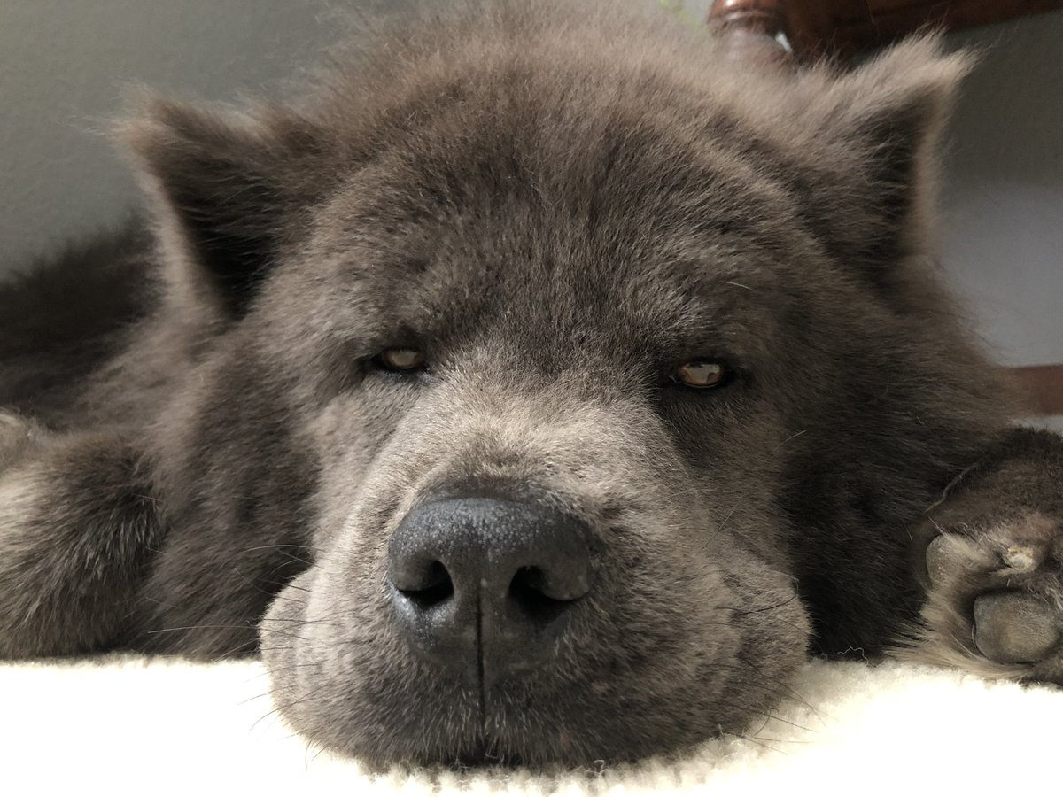 Back from our walk. Now... we nap until the mailman!   #puppylove #DogsofTwittter #bluechow<br>http://pic.twitter.com/u6IUzTeRdg