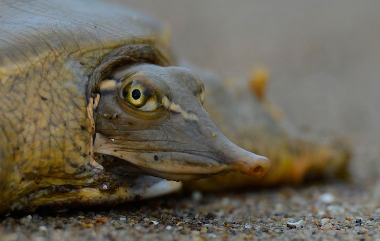 Hi, I look like a cross between an armadillo, a horseshoe crab, &amp; a pancake, but I&#39;m actually a smooth softshell turtle.   And sometimes, when nobody&#39;s looking, I like to breathe out of my butt.   Happy #WorldTurtleDay   More on cloacal respiration:  https:// slate.com/technology/201 5/11/animal-respiration-walrus-frog-and-butt-breathing-turtle.html &nbsp; …  <br>http://pic.twitter.com/h2EfSJeihC