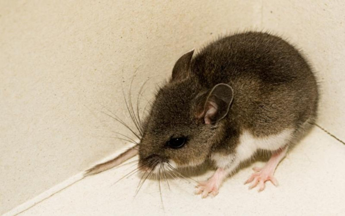 Mouse tests positive for Hantavirus in Fallbrook https://www.cbs8.com/article/news/local/mouse-tests-positive-for-hantavirus-in-fallbrook/509-ea887682-5796-42a0-bdb1-74813a1ac962 …