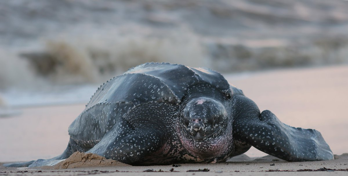 Meet the Leatherback Sea Turtle! Found on 's East and West coasts, they're the largest sea turtle species in the  and have been around for more than 100 million years. As an endangered species, let&#39;s do our part to help conserve their habitats! #WorldTurtleDay<br>http://pic.twitter.com/GcIPQ08BFz