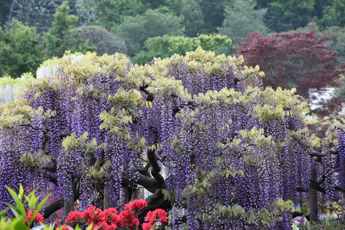 The Edge Of Tokyo On Twitter Wisteria And Many Other Beautiful