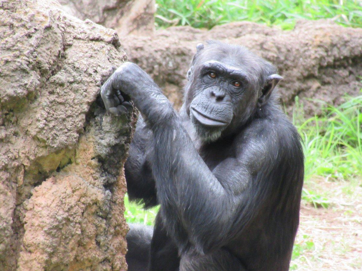 私は転職転居を機に従来の「寡黙な真面目キャラ」を廃棄して「陽性無責任ズケズケ物言いオヤジ」に暖簾替えした身今はそれでストレス無く渡って行けてるし、昔の知り合いに会ったらどうするって?イヤ元々私職場の連中と友達付き合いなんかしてなかったし※5/20撮影#多摩動物公園 #チンパンジー