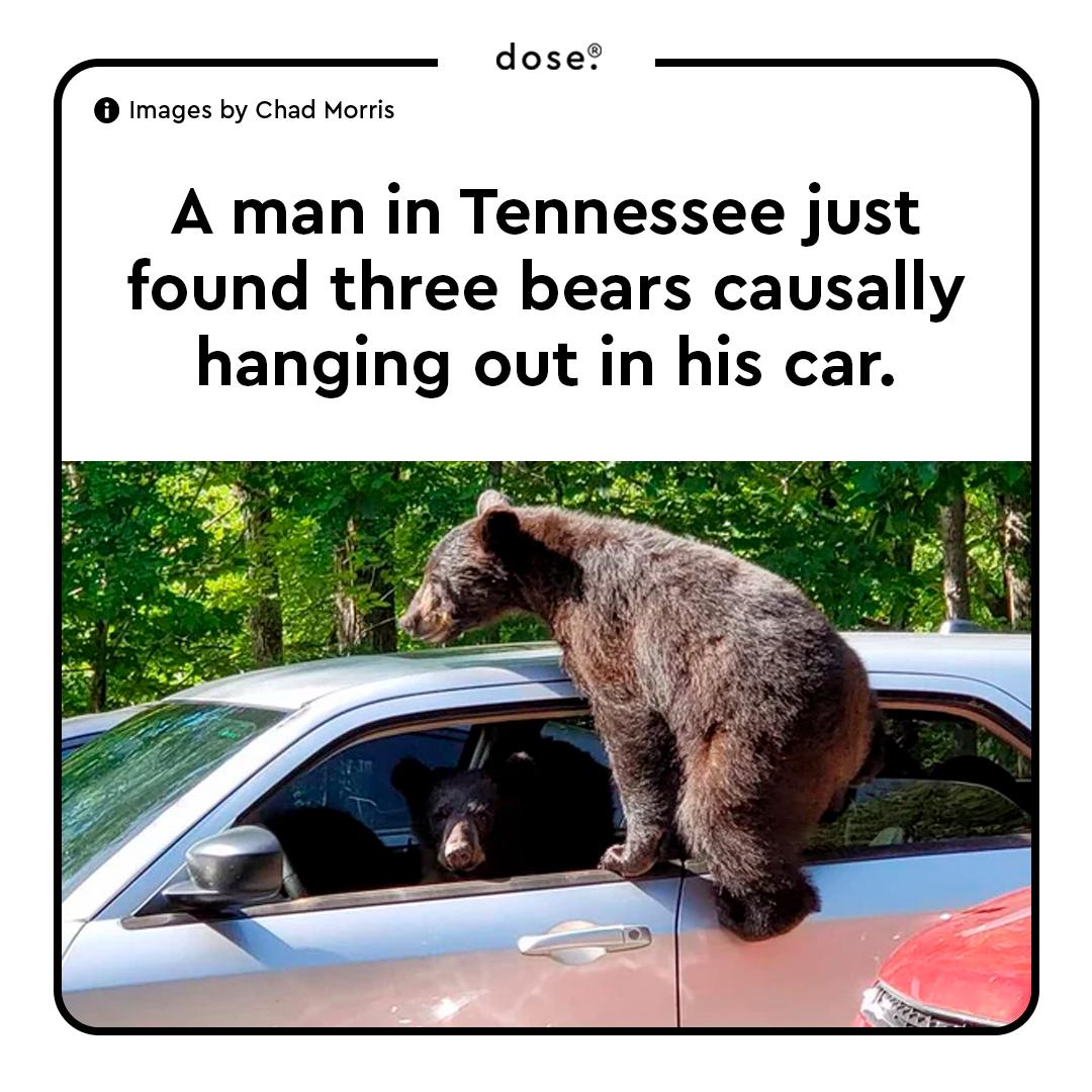 Chad Morris found three black bear cubs climbing into his car and hanging outside the windows last Thursday. One of the bears managed to take a chunk out of the seat before they left.