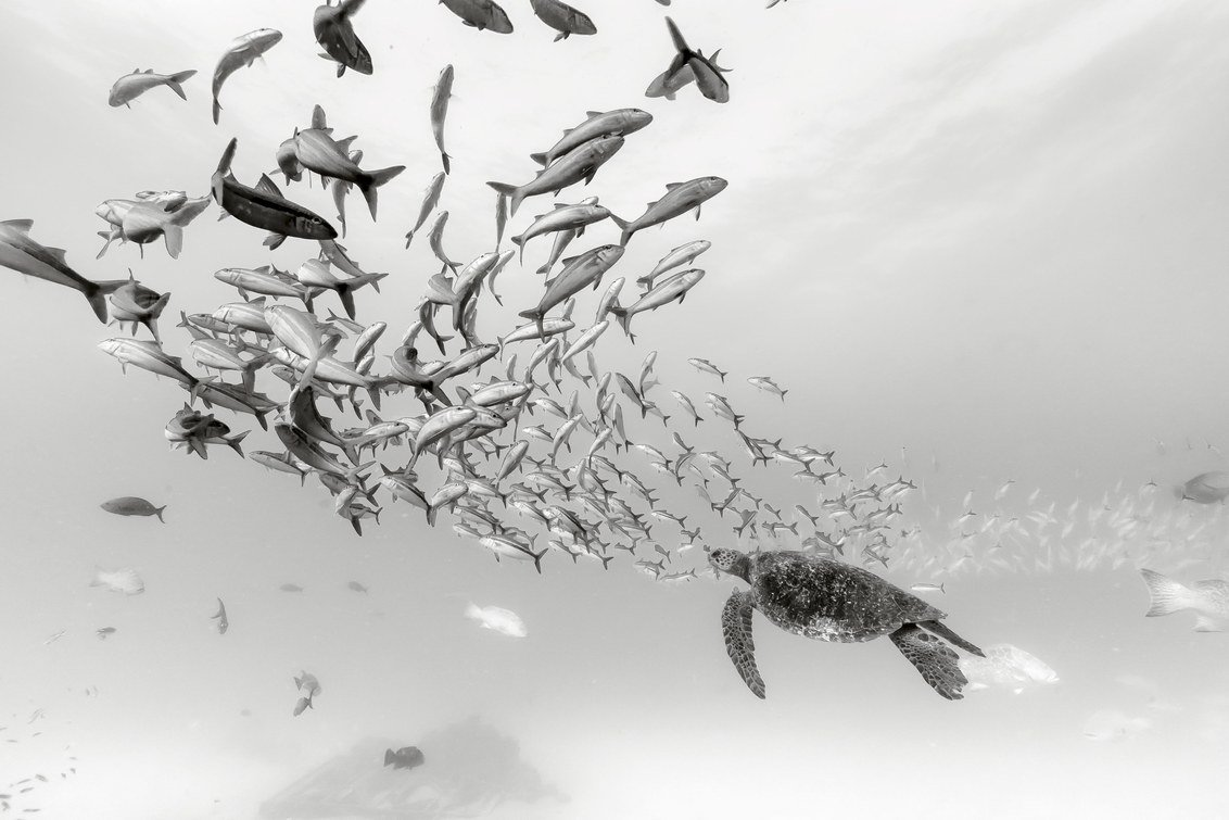Happy #WorldTurtleDay. Photographer Christian Vizl captured this sea turtle leisurely floating near a school of fish above the ruins of a shipwreck in Cabo Pulmo, Sea of Cortez, Baja California, Mexico. Go here for more exquisite underwater pics: https://wired.trib.al/m8wzObr
