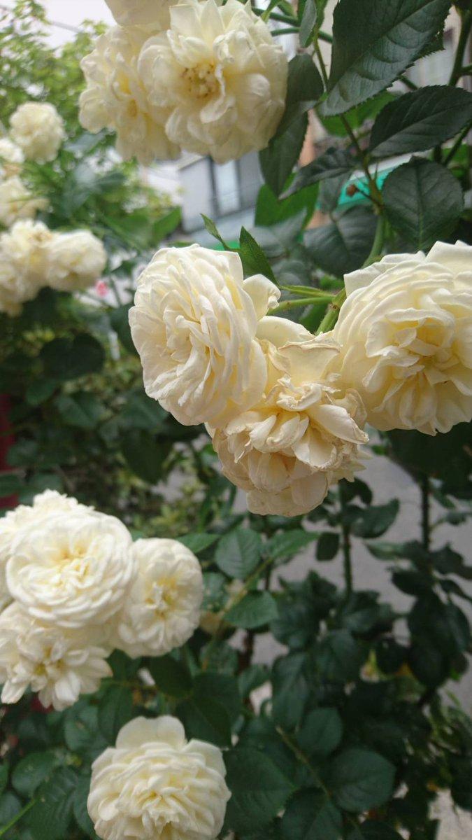 おはようございます。真夏日になりそうです。☀派遣ですが仕事決まりました。アルコール依存症と診断を受けずっとデイケア通いでした。正直不安ですが、頑張ります。本日もよろしくお願いします。?ご近所の薔薇が美しいです。?