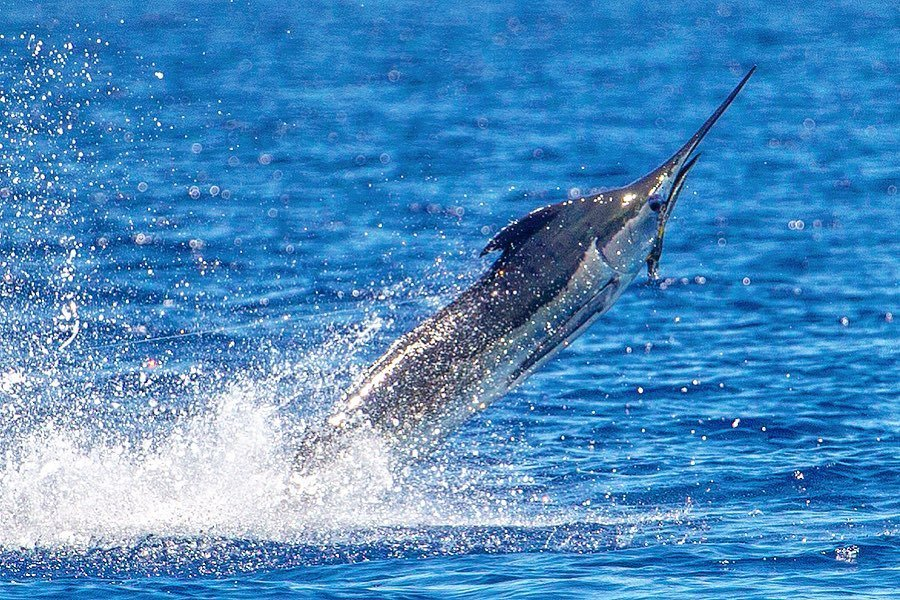 Kona, HI - Benchmark went 1-2 on Blue Marlin and 1-1 on Spearfish.