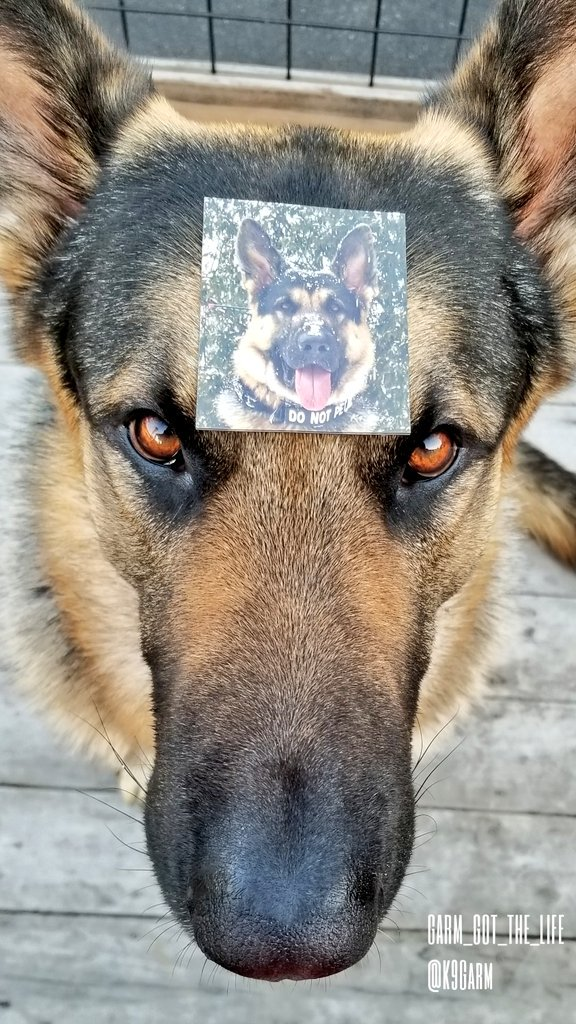 A little giveaway perhaps?  3 followers will be chosen at random to win a #Moosedog magnet  Like, comment and retweet! Must be following the Moose and @Love4PoliceDogs Winners to be announced Friday night. Good luck!<br>http://pic.twitter.com/Ed1WcBp3tm