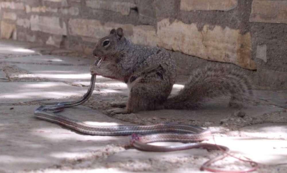 Esta imagen de una ardilla comiéndose una serpiente rayada del desierto no venenosa no deja a nadie indiferente en las redes sociales. La ardilla, una hembra, se enfrentó al ofidio para defender a sus crías, que no andaban muy lejos de ella. : William Leggett
