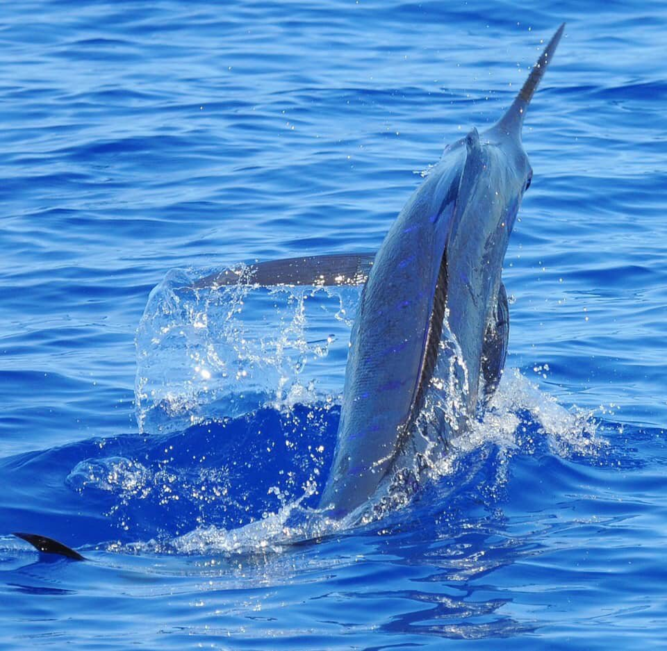 Kona, HI - Last Chance released a Grand Slam with a Blue Marlin, Striped Marlin and Spearfish.
