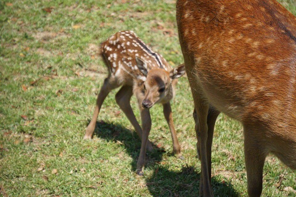 【見たら必ずRTしてください】  子鹿には絶対に触らないでください。  子鹿に人間の匂いが付いてしまうと、お母さん鹿が子育てをしなくなります。 お母さん鹿がいなくては、子鹿は生きていけません。  絶対に、触らないでください。  #奈良の鹿愛護会 #拡散希望