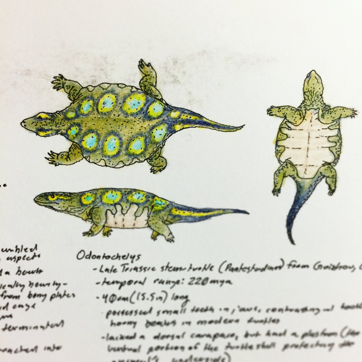 Yesterday was #WorldTurtleDay but today is #FossilFriday so here's some turtles. They are very challenging at first but ultimately very rewarding #paleoart subjects. Here's Odontochelys, Alienochelys & Ocepechelon, Idiochelys, & Meiolania <br>http://pic.twitter.com/rmBa0bPvJJ