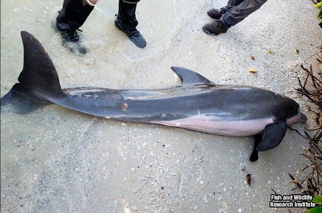 Lo que hallaron dentro de este delfín muerto hace sentir vergüenza de la humanidad http://bit.ly/2wgnhnR