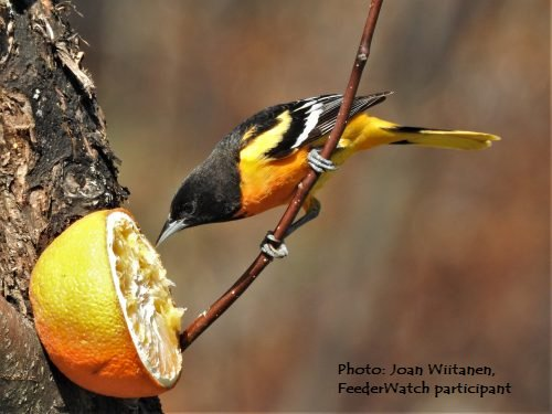 cfe7d29e9 For bird feeding tips - see the interactive FeederWatch list of 100 common  feeder birds and what they like to eat. http://ow.ly/esmN50unFy2  pic.twitter.com/ ...