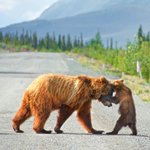 Image for the Tweet beginning: A momma bear showing her