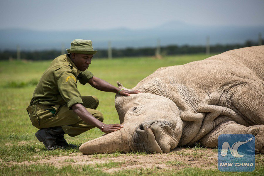 Northern white rhino can be saved from extinction scientifically using the last two remaining females in Kenya: expert http://xhne.ws/k2jo0