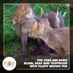 Image for the Tweet beginning: #FoxFactsFriday 🦊 We hope you
