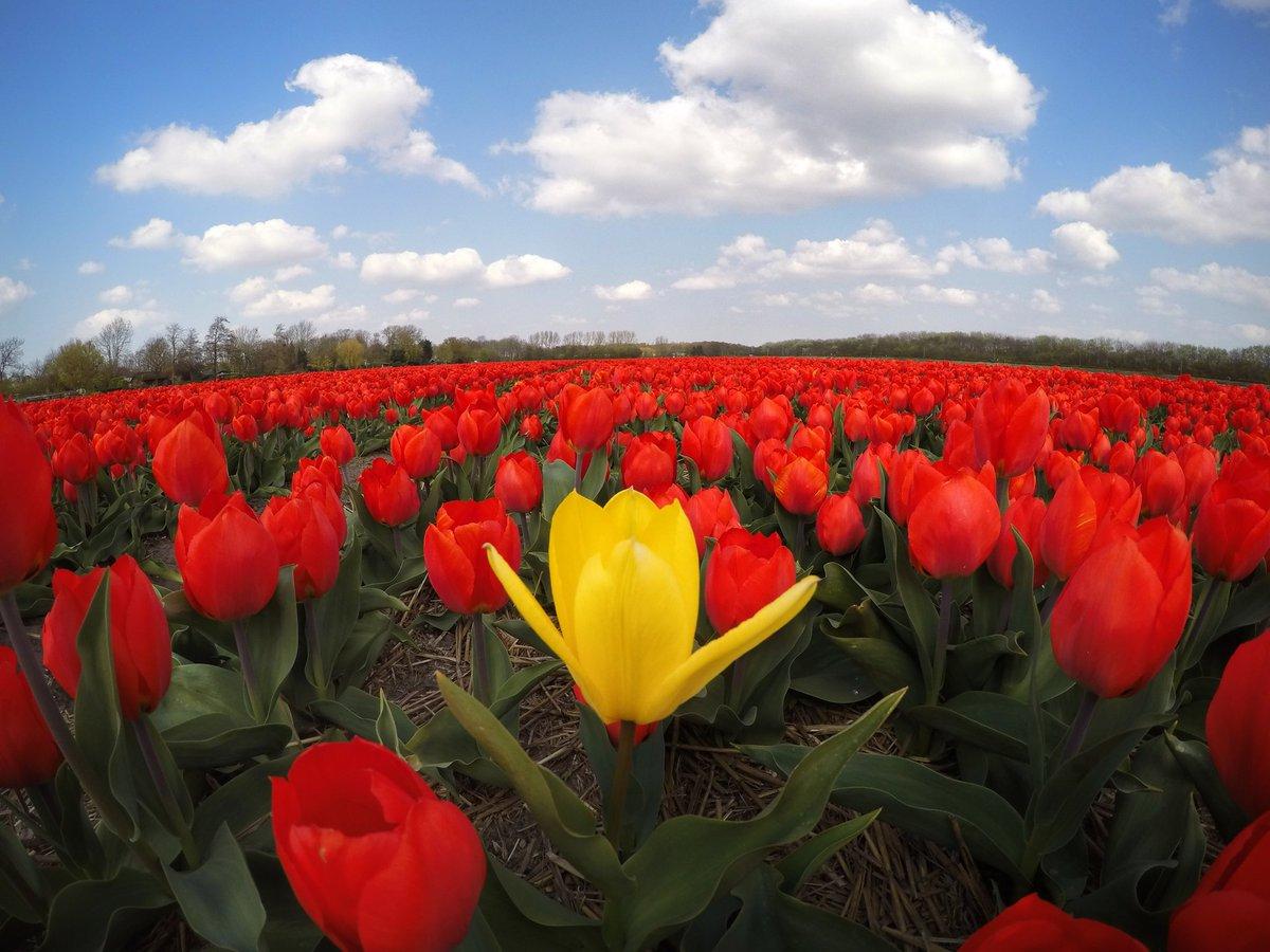 Tulip Fields, The Netherlands... #Galatasaray #UCL #TULIPS