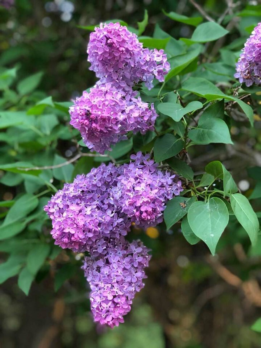 """""""I cannot understand why my arm is not a lilac tree."""" —Leonard Cohen #quote  #Lilacs <br>http://pic.twitter.com/YW26QkAm8V"""