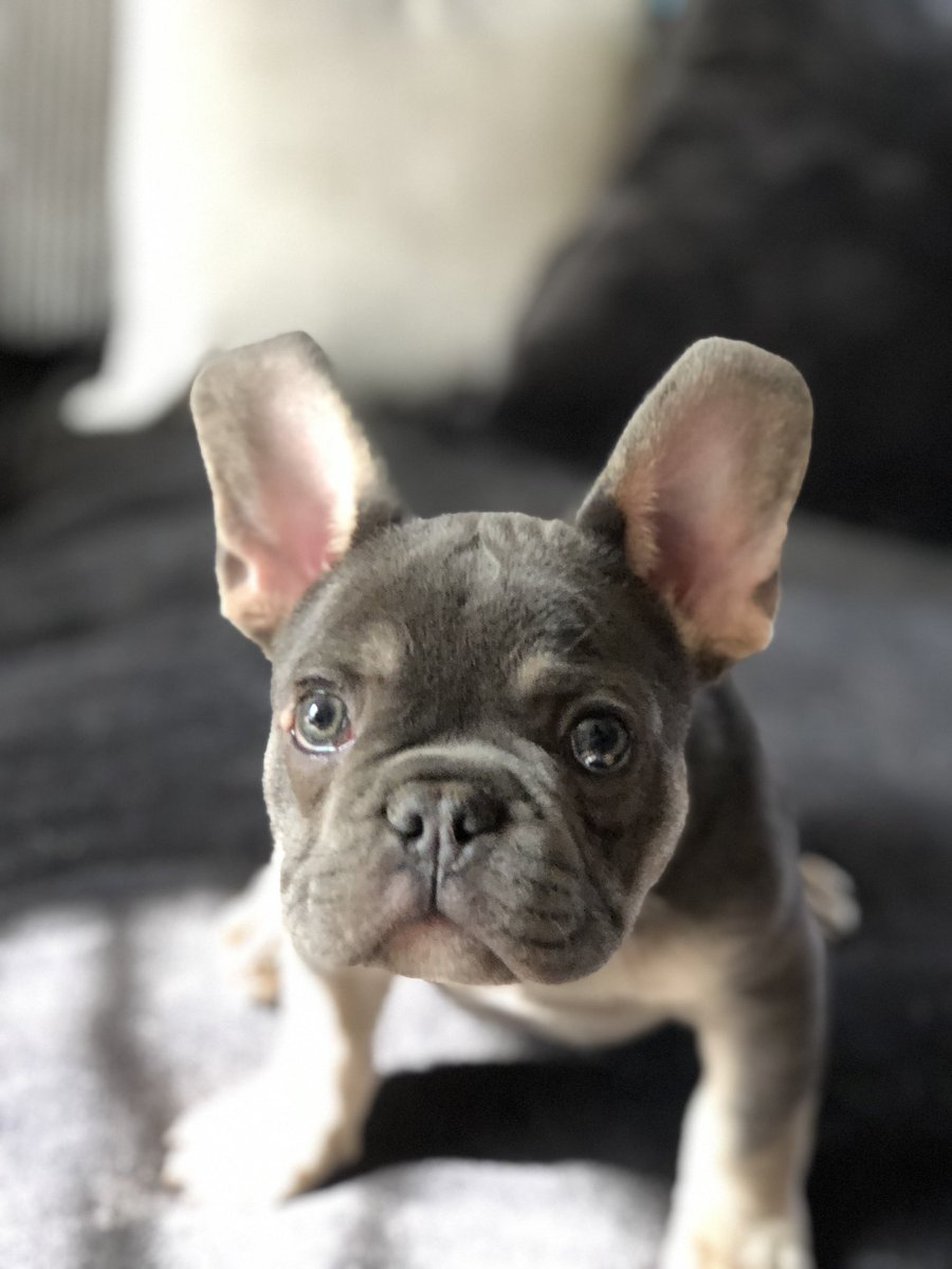 After this week, seeing this little face is just what the doctor ordered. #Frenchie #frenchbulldog <br>http://pic.twitter.com/ffxVOF6lBB