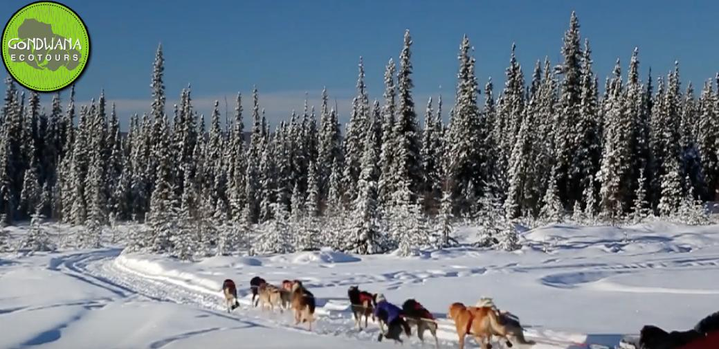 Dog-sledding is one of the fast-paced excursions during the Alaskan Ecotour! You don&#39;t want to miss this! ---&gt; Read about what you will want to pack to prepare!  https:// bit.ly/2GuHAFK  &nbsp;   #dogtravel #ecotour #adventure<br>http://pic.twitter.com/xjQkDjFvwJ