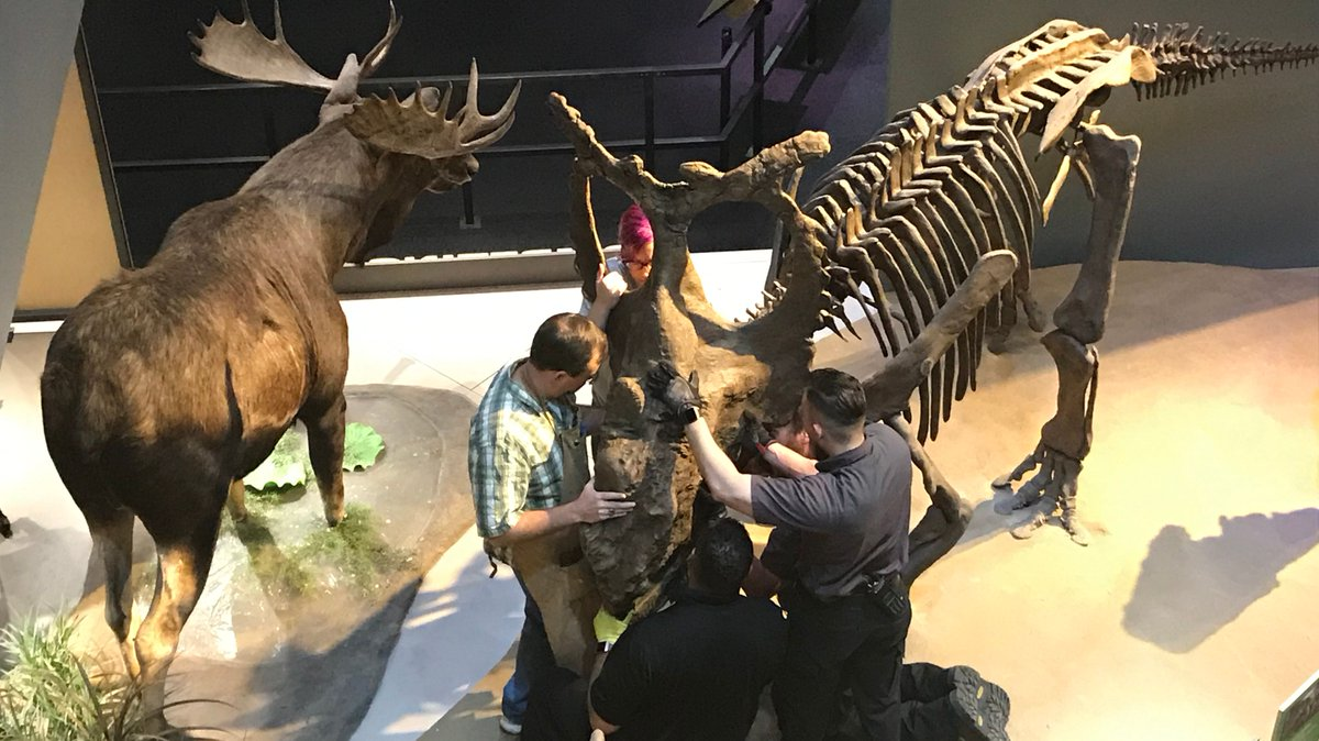 Getting our heads on right before a long weekend with the installation of our Pachyrhinosaurus perotorum skull. Happy #FossilFriday! #PerotMuseum