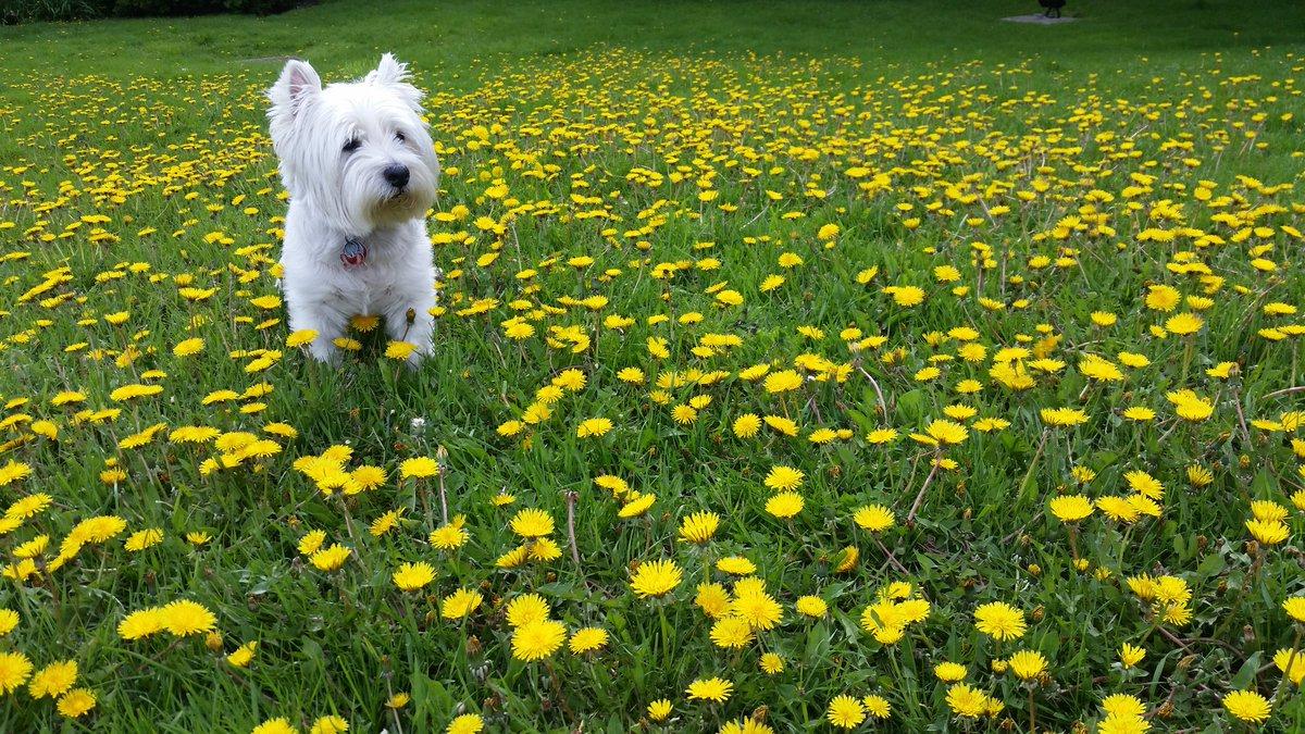 Feeling just fine and dandy today!  #westie #westhighlandterrier #westiesoftwitter #dogsoftwitter #officedog #pawtrol #punny #lol #puppylove #MunroeTheWonderDog<br>http://pic.twitter.com/7yZktvr6nb