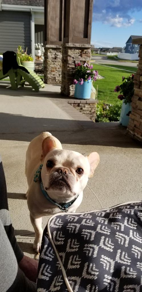 Mr Brutus #frenchbulldog <br>http://pic.twitter.com/jmvg1mQMDK